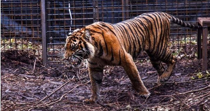 Corina Si Harimau Sumatra, Akhirnya Pulang Kampung