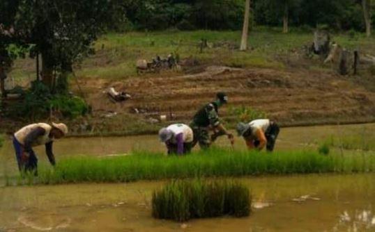 Babinsa Lakukan Pendampingan Menunjang  Ketahanan Pangan di Kutai Kertanegara