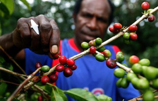 Kopi Tiom Oleh-Oleh Khas Tanah Papua